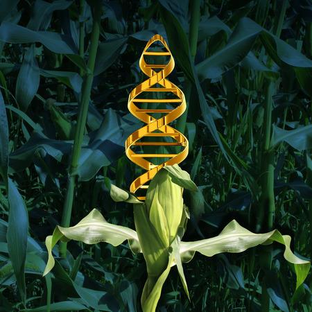 Cultivos modificados genéticamente y la ingeniería de alimentos concepto de la agricultura mediante la biotecnología y la genética manipulación a través de la ciencia biología como una planta de maíz en un campo de cultivo con un símbolo de cadena de ADN en el vegetal como un icono de la tecnología de producción. Foto de archivo