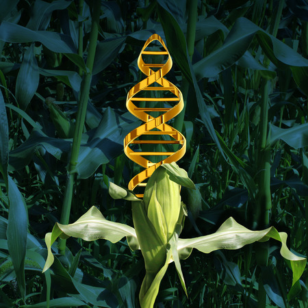 biotecnologia: Cultivos modificados genéticamente y la ingeniería de alimentos concepto de la agricultura mediante la biotecnología y la genética manipulación a través de la ciencia biología como una planta de maíz en un campo de cultivo con un símbolo de cadena de ADN en el vegetal como un icono de la tecnología de producción.