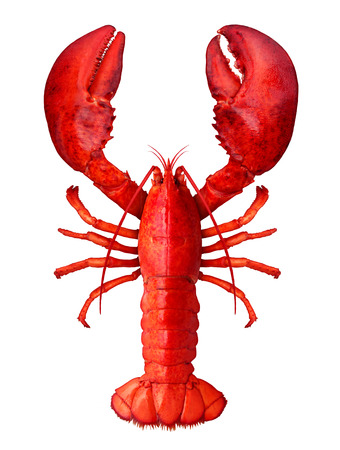 Lobster isolated on a white background as fresh seafood or shellfish food concept as a complete red shell crustacean in an overhead view isolated on a white background.