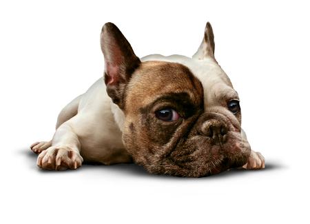 Lost white french bulldog