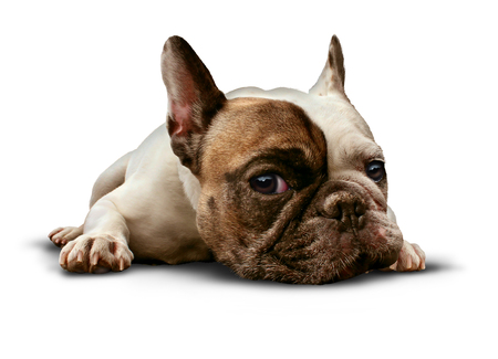 canine: Dog lying down on a white background as a cute french bulldog looking sad and lonely or laying on the floor as a relaxed obedient and trained pet canine as a symbol for veterinary care.