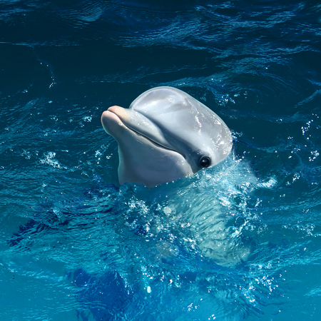 Dolphin head out of water with a cute smile as a marine mammal symbol at sea or swimming in the ocean.