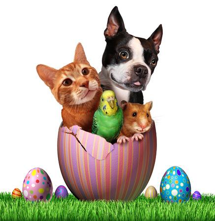 Pasen huisdieren en lentevakantie dieren groep voor diergeneeskunde en dierenwinkel feestdagen als een schattige hond hamster vogel en een kat binnen een open versierde ei op een grasveld op jacht naar eieren met een witte achtergrond.