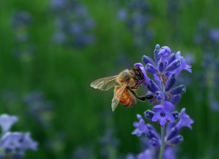 honeybee: Honeybee collecting nectar as a bee working on a lavender flower as a nature symbol for plant fertilization and healthy horticulture and agriculture.
