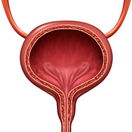 Human urinary bladder anatomical organ concept as a 3D illustration cutaway of body anatomy.