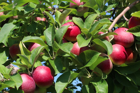 Apple fruit tree background with a bunch of red ripe apples on a branch as an agricultural harvest from an orchard. Stok Fotoğraf