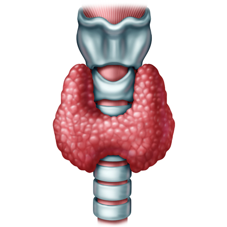 Thyroid gland medical concept as a human organ with trachea and larynx as a symbol for endocrinology system or hormone secretion with 3D illustration elements on a white background.