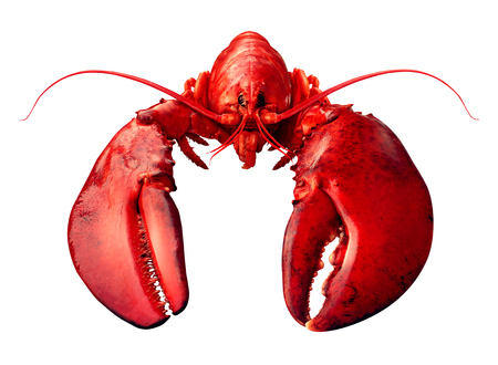 Lobster front view isolated on a white background as fresh seafood or shellfish food concept as a complete red shell crustacean isolated on a white background.