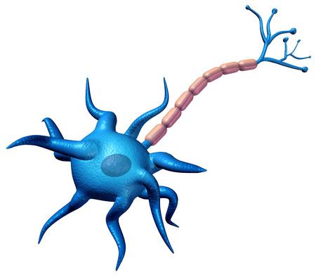 Synaps neuron lichaam anatomie geïsoleerd op een witte achtergrond met axon cel lichaam en myeline schede als een 3D illustratie.