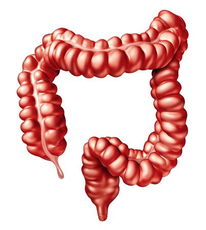 大腸あるいは結腸人間の腸直腸の解剖学的に消化器系臓器と消化体一部概念としてイラストや 3 D イラストレーションとして白で隔離医療のシンボル