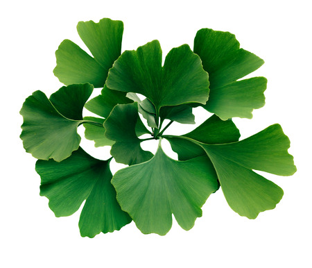 Ginkgo Biloba isolated on a white background as a symbol for traditional medicine representing natural medicinal benefits as a homeopathy symbol for memory or cognitive function.