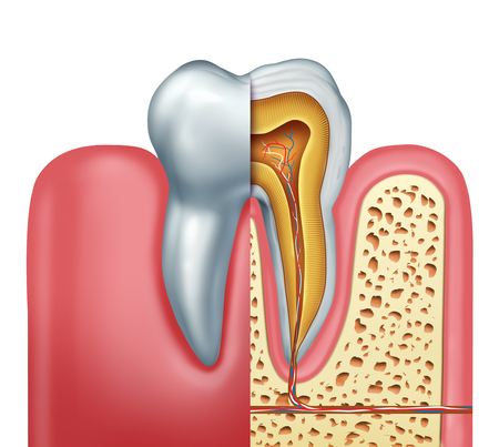Human tooth anatomy dentistry medical concept as a cross section of a molar with nerves and root canal symbol as a 3D illustration.