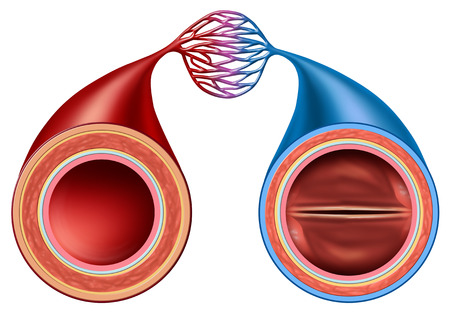 Artery and vein structure comparison concept as a human circulation section with blood vessels anatomy close up in a 3D illustration style.