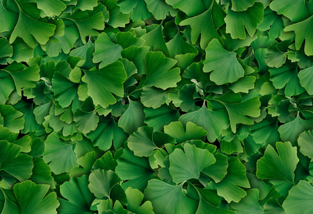 Ginkgo Biloba leaf background as a herbal medicine concept and natural phytotherapy medication symbol for healing.
