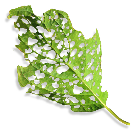 Agricultural Pest Damage leaf as a sick plant on a white background with damaged surface eaten by an insect or disease as a pesticide or herbicide concept.