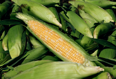 Corn harvest agriculture and fresh farm produce as a heap of yellow grain vegetable as agricultural and food farming. Stock Photo