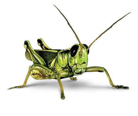 Grasshopper insect on a white background as an entomology symbol or farming and agriculture pest with 3D illustration elements on a white background. Stock Photo