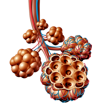 Pulmonary alveoli or alveolus anatomy diagram as a medical concept of a lung anatomy and repiratory and respiration medicine as a 3D illustration isolated on a white background.