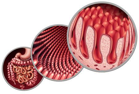 Les villosités intestinales comme doublure intestinale avec l'anatomie capillaire microscopique en tant que concept médical en tant que système de digestion auto-immune et d'absorption gastro-intestinale avec le côlon et l'estomac comme illustration 3D. Banque d'images