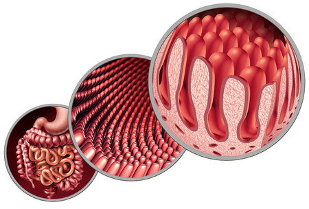 Intestinal villi as intestine lining with microscopic capillary anatomy as a medical concept as an autoimmune digestion and gastrointestinal absorption system with colon and stomach as a 3D illustration.
