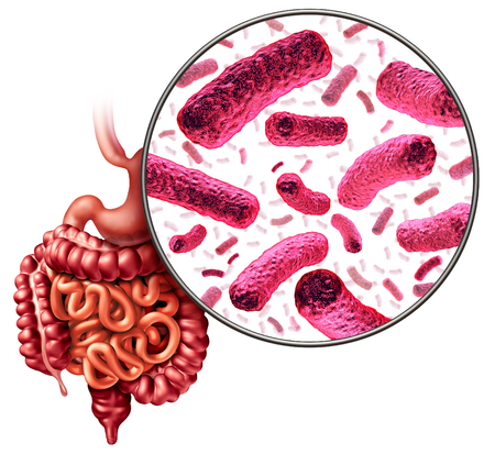 Digestion bacteria and intestine or gut flora as intestinal bacterium medical anatomy concept as a 3D illustration.
