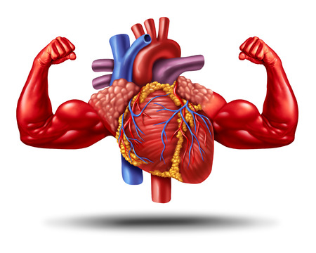 Strong healthy human heart as a cardiology fitness and health symbol or powerful cardio exercise as an anatomy organ with muscle biceps in a 3D illustration style.
