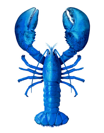 Blue lobster isolated on a white background as fresh seafood or shellfish food concept as a complete rare shell crustacean in an overhead view composite image.