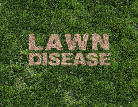 Lawn disease as grub damage as chinch larva damaging grass roots causing a brown patch and drought area in the turf as a composite image.