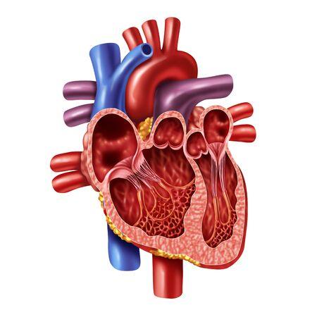 Concepto de anatomía interna del corazón humano con válvulas de un cuerpo sano aislado sobre fondo blanco como símbolo de atención médica de un órgano cardiovascular interno en un estilo de ilustración 3D.
