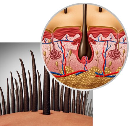Hair follicle anatomy diagram dermitology medical concept as human hairs with a shaft emerging from the scalp as a 3D illustration. Foto de archivo - 127794931