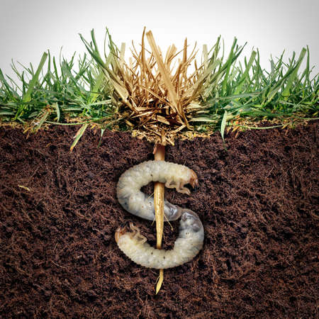 Lawn damage cost and grub damaging a garden as chinch larva damaging grass roots causing an expensive brown patch disease in the turf as a composite image shaped as a money sign.