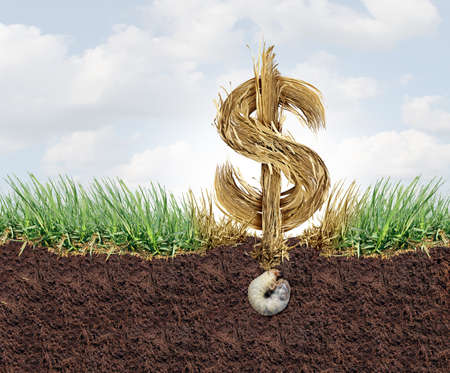 Lawn Health cost and grub damage expense as chinch larva damaging grass roots causing a brown patch disease in the turf as a composite image for as a gardening concept. Stock Photo