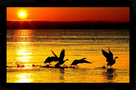 canadian geese: Canadian geese taking flight