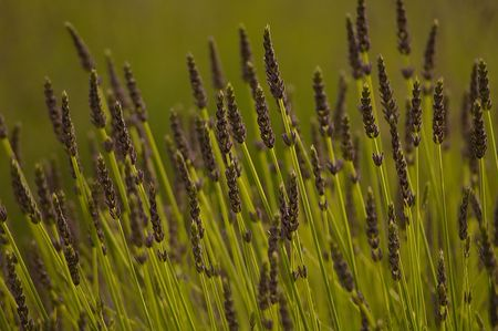 Close up shot of lavendar Stock Photo