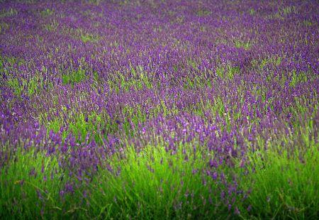 August lavender