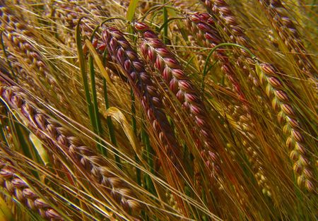 Agricultural wheat crop