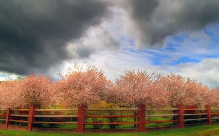 cherry trees in blossom Stock Photo