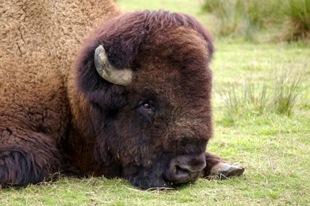 Breaktime for a bison