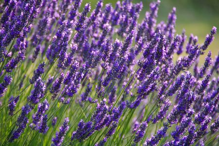 Lavender Flower Bush