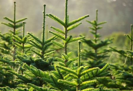 coniferous tree: Tree Farm Stock Photo