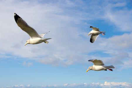 A Flock Of Gulls Along The Washington State Coastline.
