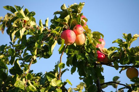 Apple Tree Stock Photo - 6021167