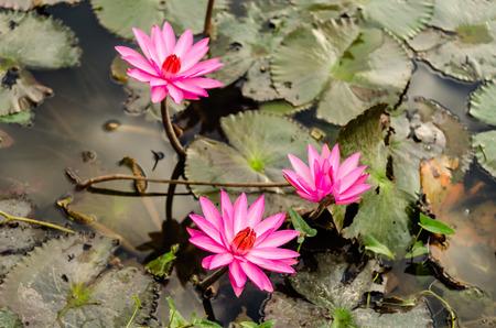 botan: The Lake of water lily