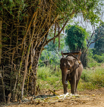 drover:  Elephants in the tropical forest of Thailand Stock Photo