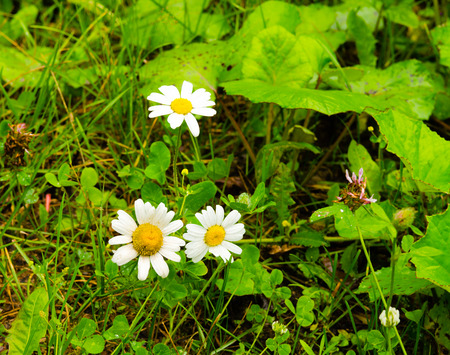 homeopath: Daisies in a meadow