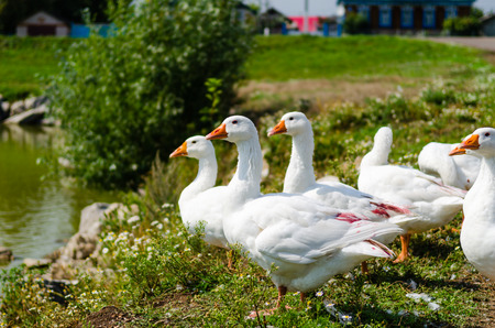 Geese in the village pond photo