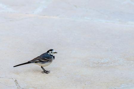 wagtail: Uccello Ballerina sulla strada di pietra