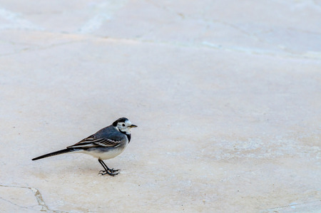 wagtail: Wagtail bird on stone road Stock Photo