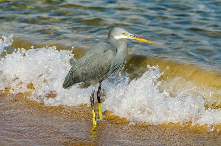 ornitology: Little blue heron fishing. Egipt