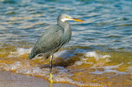Little blue heron fishing. Egipt